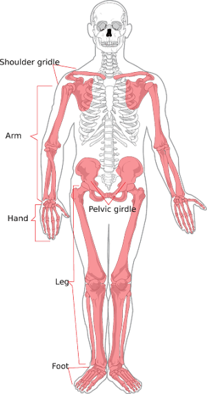 Skeleton Human Diagram · Free vector graphic on Pixabay