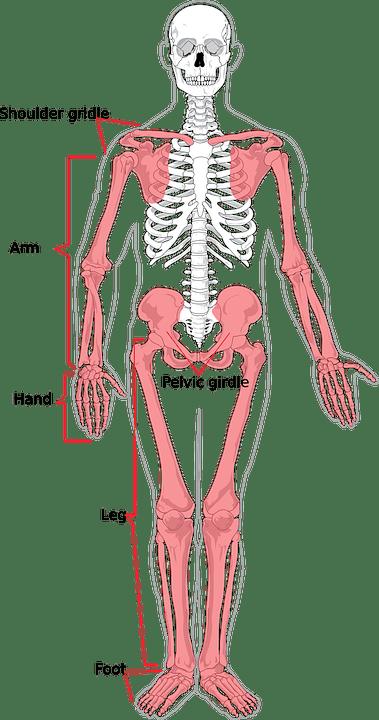 Kerangka Manusia Diagram Gambar Vektor Gratis Di Pixabay
