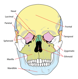Skull Diagram Labelled · Free vector graphic on Pixabay