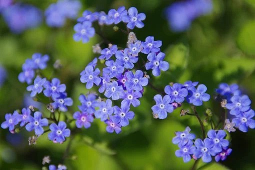Fleurs, Bugloss Sibérien, Pré