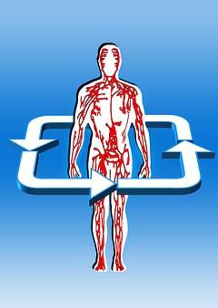 Cuerpo, Circulación De Sangre, Aterien