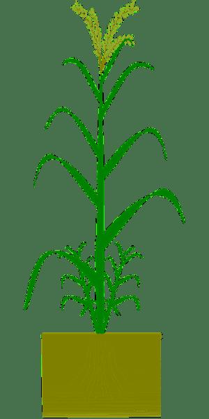 Kostenlose Vektrafik: Weizen, Gerste, Dinkel, Korn