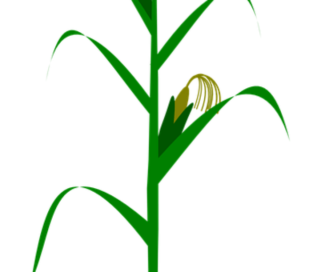 Maize Corn Agriculture Free Vector Graphic On Pixabay
