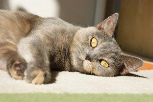 猫, かわいい, ネコ, 子猫, ペット, 動物, 家畜化された, 哺乳動物