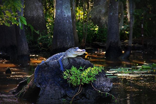 Alligator Gator Louisiana 183 Free Photo On Pixabay