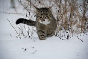 猫, 動物, 雪