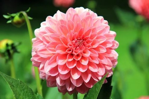 Dahlias Images      Pixabay      Download Free Pictures Flower  Dahlia  Blossom  Bloom  Plant