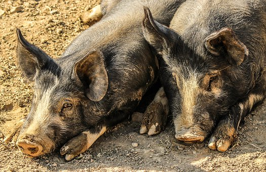 Pigs, Hogs, Muddy, Farm Animals, Swine