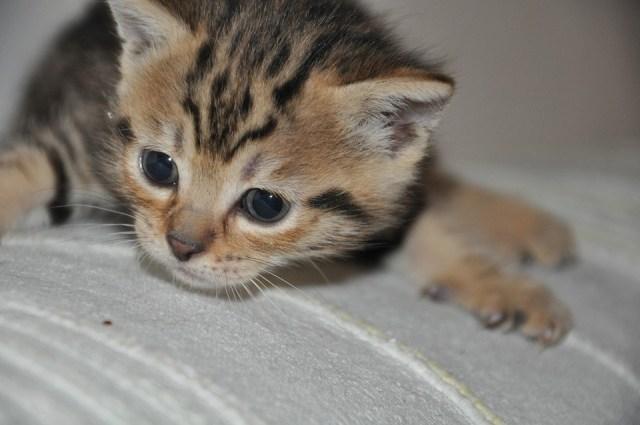 Pussy Cat Feline Portrait Of Cat Cat Portrait Miao