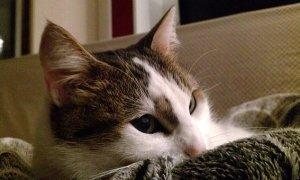 猫, 子猫, ネコ, ペット, 家畜化された, ハローキティ, 愛らしい, 毛皮