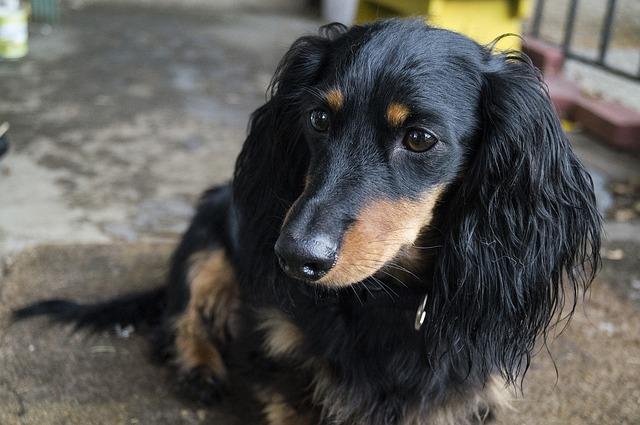Dog Dachshund Pet Free Photo On Pixabay