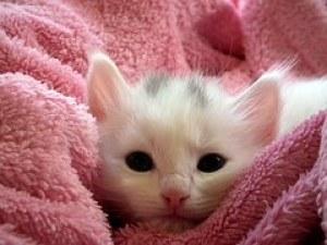 子猫, 猫, ふわふわ猫, かわいい, 動物, 毛皮, クローズ アップ