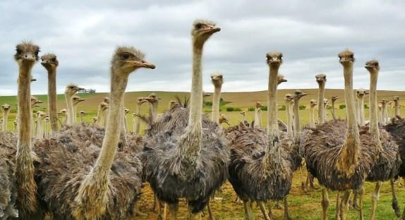 como criar uma avestruz