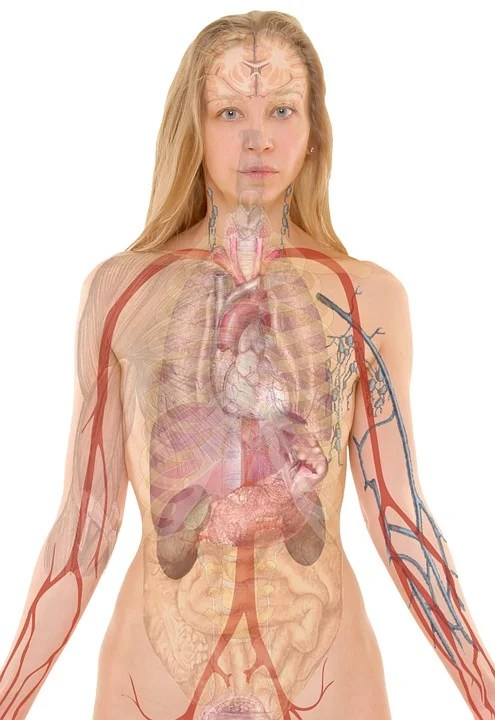 Anatomia, Donna, Umano, Corpo, Pelle, Organi, Schema