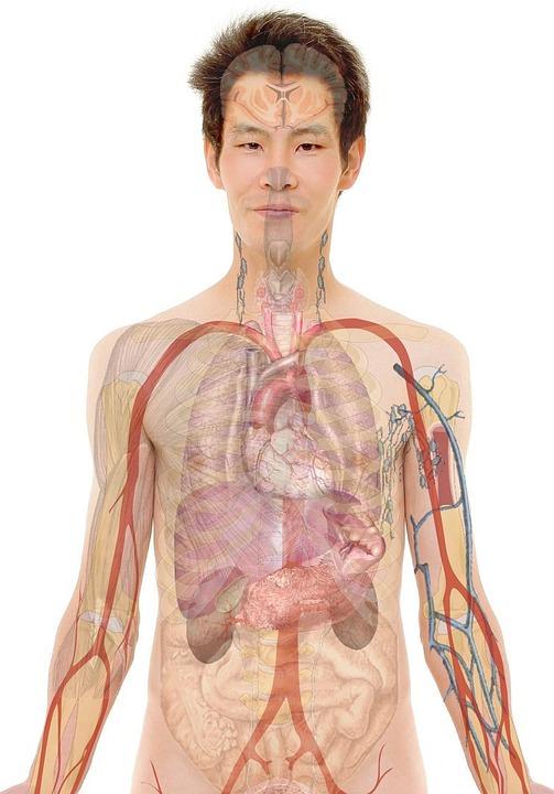 Anatomia, Uomo, Umano, Corpo, Pelle, Organi, Schema