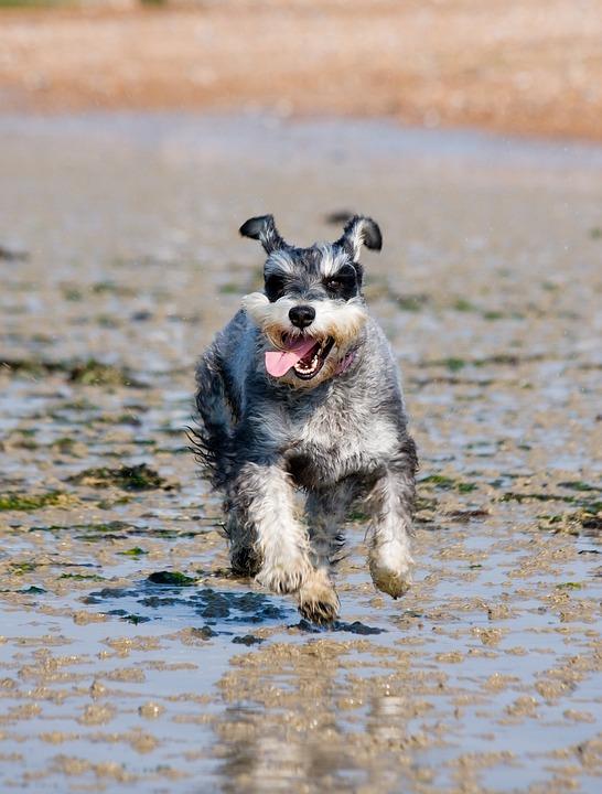Schnauzer Miniature Dog Free Photo On Pixabay