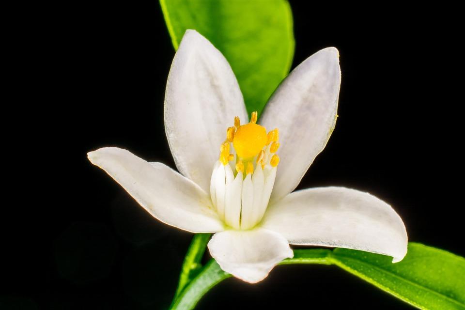 Orange Blossom Small Flower White Free Photo On Pixabay