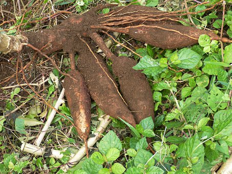 Cassava, Root, Tuber, Food, Strength