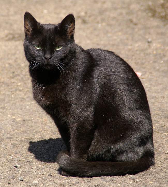 Free Photo Cat Black Cat Animal Black Eyes Free