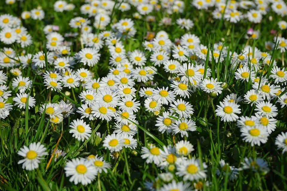Daisy, Flower Carpet, White, Flower, Blossom, Bloom Artificial grass killing our environment