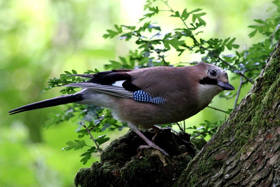 jay oiseau bois photo gratuite sur