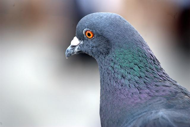 Free Photo Pigeon Homing Bird Close Up Free Image On