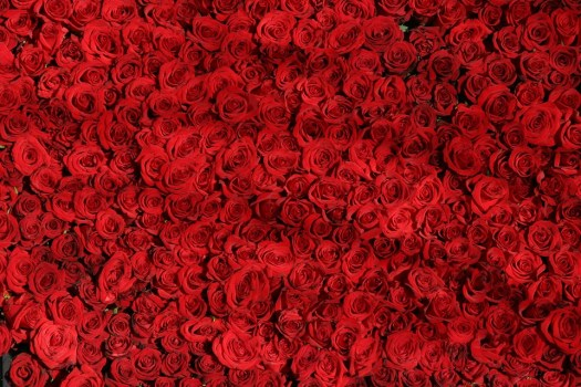 Rose, Fiori, Red, San Valentino