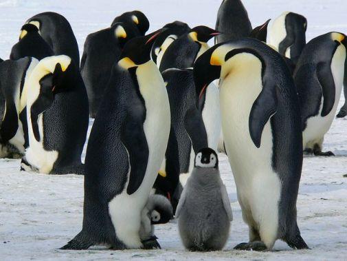 Pingüinos Emperador, Bebé Pinguino, Aves
