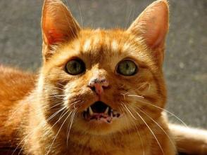 猫, 二日酔い, 国内の猫, ニャー, 呼び出し, 赤, Mieze, ペット