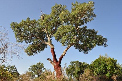 コルクガシ, コルク, 樹皮, 掲示板, 樹皮を流す, 自然, 天然産物