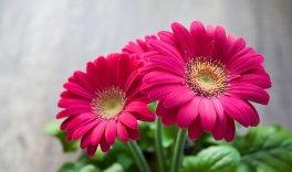 Fleur, Printemps, Été, Gerbera, Belle
