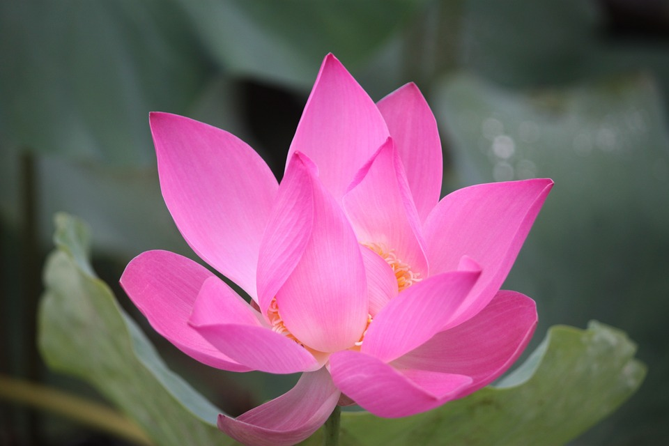 Free Photo Flowers Lotus Gorgeous Lotus Air Free
