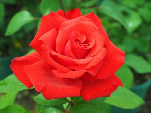 Foto Gratis Rosa Rosso Fiore Floribunda Immagine