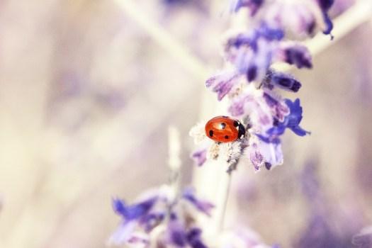 Coccinella, Lavanda, Impianto, Flora, Macro, Purple