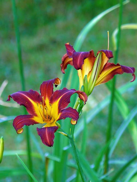 Flower Tiger Lily 183 Free Photo On Pixabay