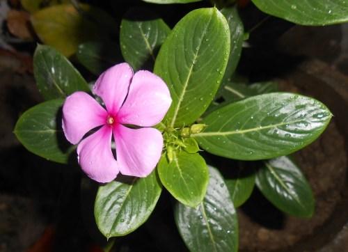 Fiore, Pervinca Del Madagascar, Marta
