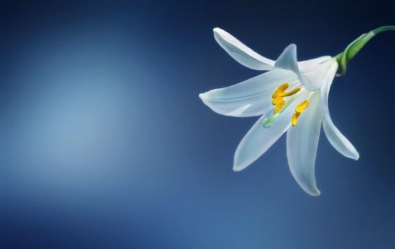 花, ユリ, ユリCandidum, ニワシロユリ, リリウム, 白いユリ, ホワイト, 美しい, ブルーム