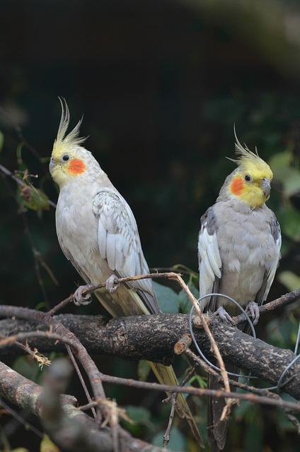 Free Photo Nymph Parakeets Dwarf Parrot Free Image On