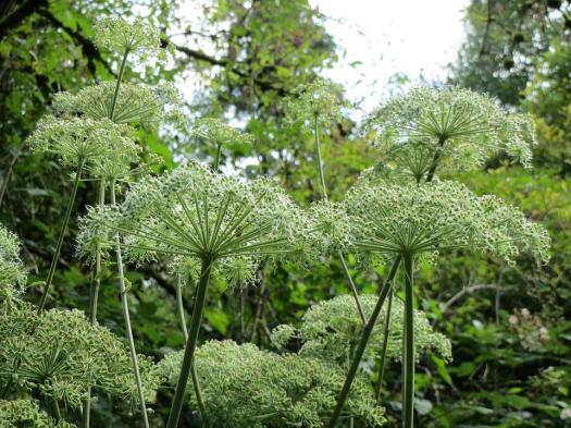 Angelica Sylvestris, Wildflower, Flora, Inflroescence