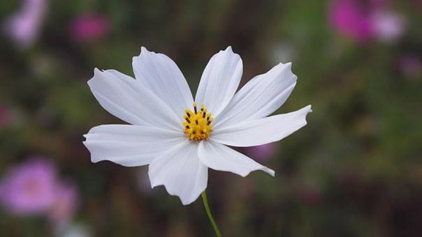 Cosmos Flower Images      Pixabay      Download Free Pictures Nature  White  Flowers  Cosmos