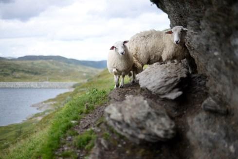 羊, ノルウェー, 高の風景, 自然, 岩