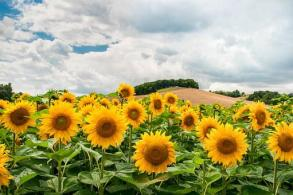 Sunflowers Field Hill Sunflower Field Summ