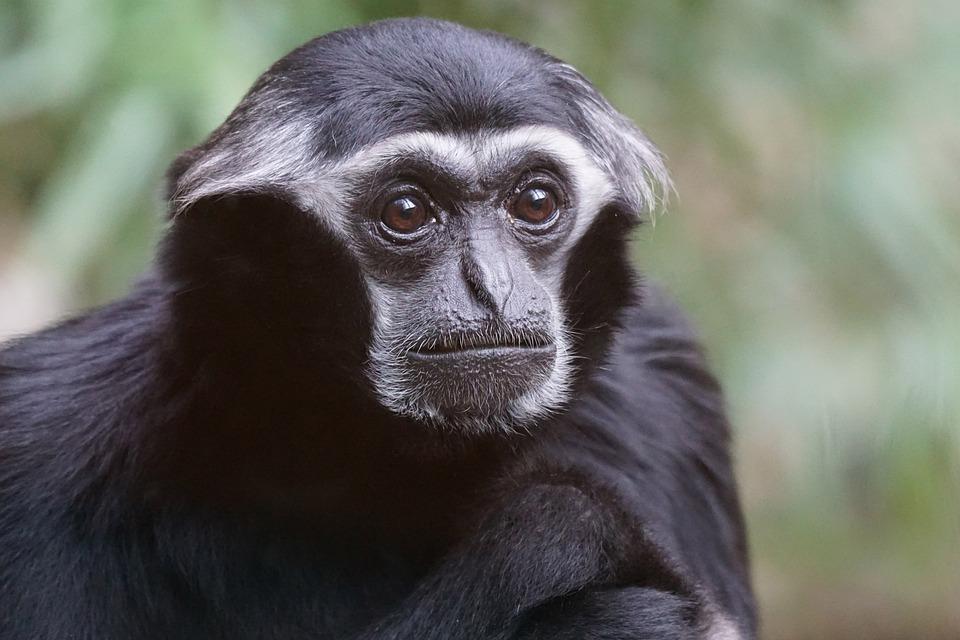 Kostenloses Foto Tiere Primat Affe Altweltaffe