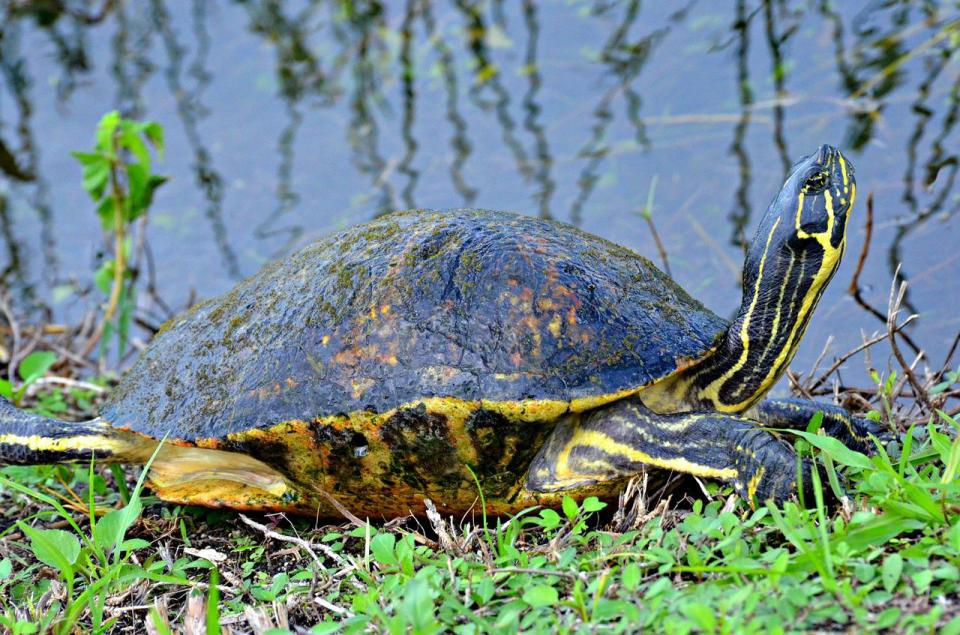 tortoise laying on grass Florida State Parks Achieving the Dragonfly Life Florida Travel Blog by Heidi Vancil