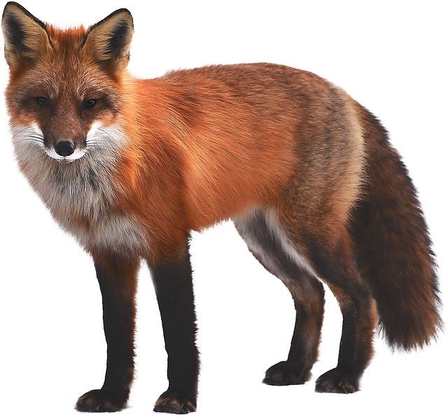 Fox Mammal Wildlife Free Photo On Pixabay