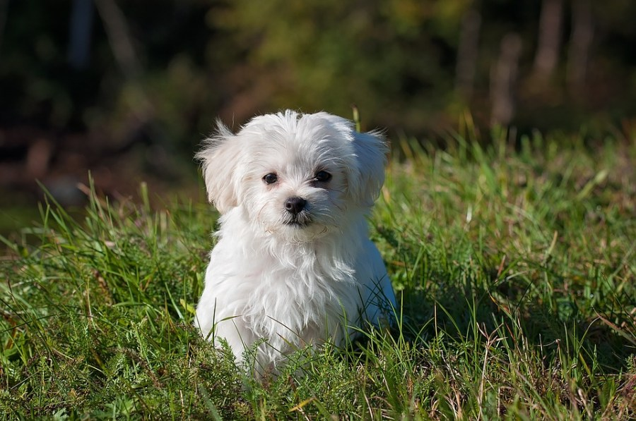 Dog, Young Dog, Small Dog, Maltese, White, Puppy, Young