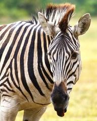 Zebra, South Africa, Seaview Lion Park
