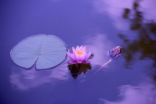 Lotus, Naturales, El Agua, Meditación, Zen