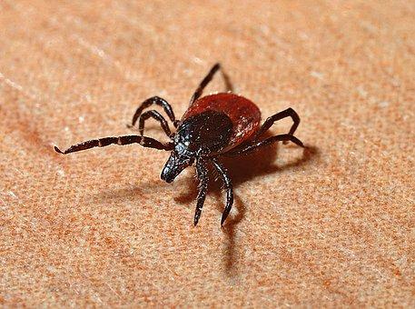 Tick, Lyme Disease, Mites, Bite, Danger
