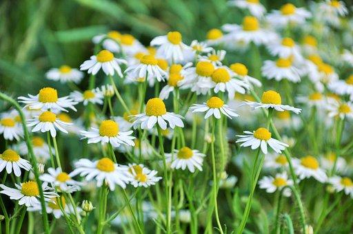 Paquerettes, Marguerites, Fleurs